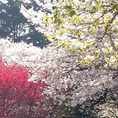 gyoen sakura